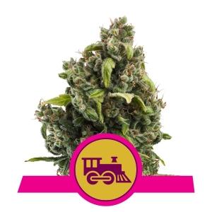 Candy Kush Express (Florescimento Rápido)
