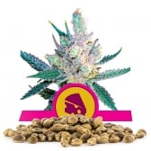 Royal Cheese Fast Version Bulk Seeds