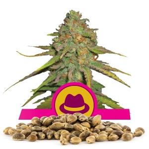 OG Kush Bulk Seeds