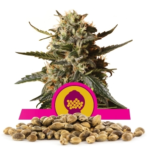 Bubblegum XL Bulk Seeds