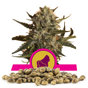 Royal Madre Bulk Seeds