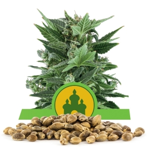 Royal Kush Automatic Bulk Seeds