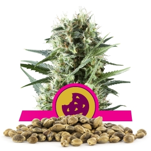 Royal Cookies Bulk Seeds