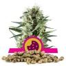 Royal Cookies Bulk Seeds