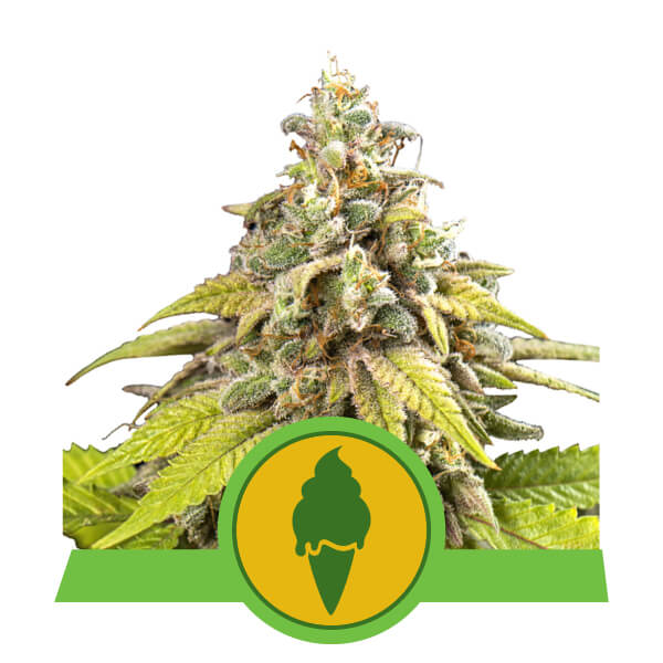Green Gelato Automatic Royal Queen Seeds