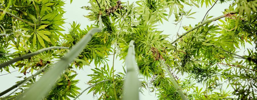 As sementes de cânhamo CBD, acessível legal