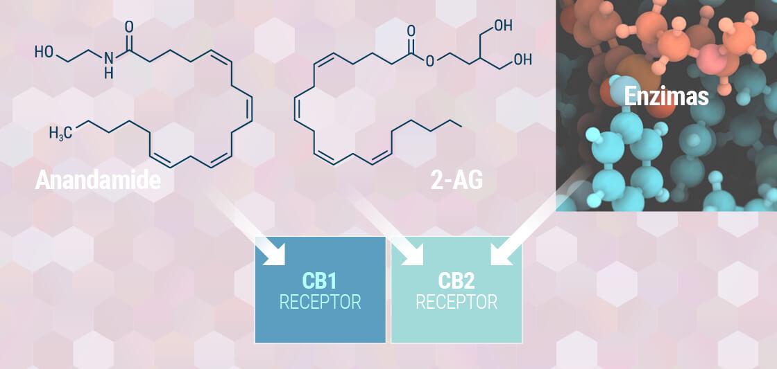 Compreender O Sistema Endocanabinoide