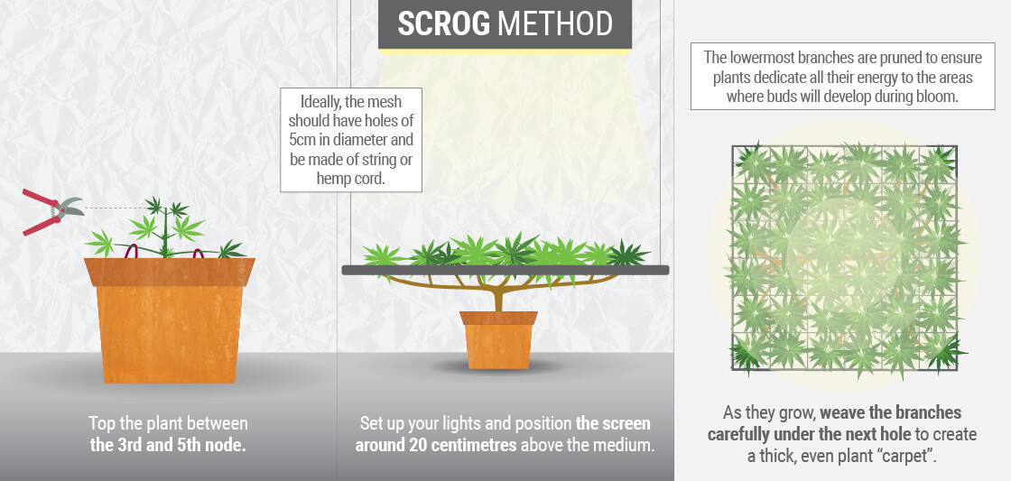 WHAT IS THE SCROG TECHNIQUE?