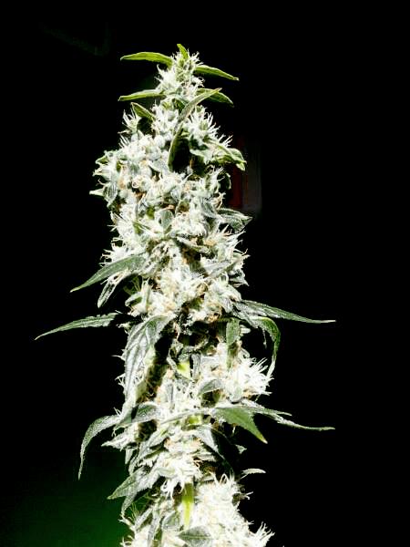 melhor cannabis estirpes sementes de maconha real rainha iniciantes bud
