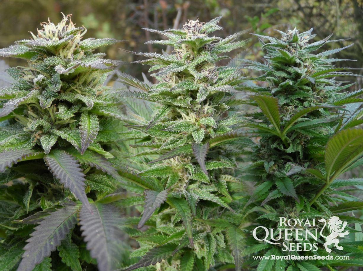 Special Queen Cannabis Strains
