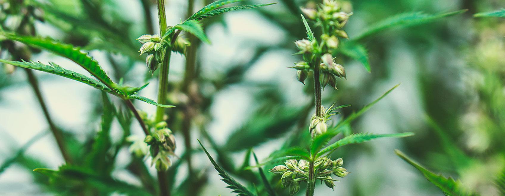 Como São Produzidas as Sementes de Canábis Medicinal