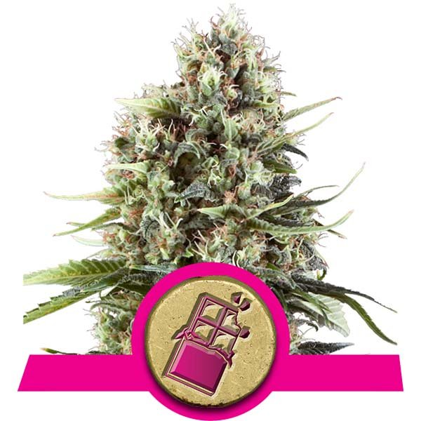 Chocolate Haze Royal Queen Seeds