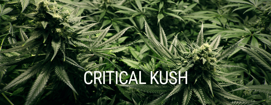 Critical Kush Royal Queen Seeds Indoor Growing