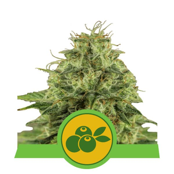 Haze Berry Automatic Royal Queen Seeds