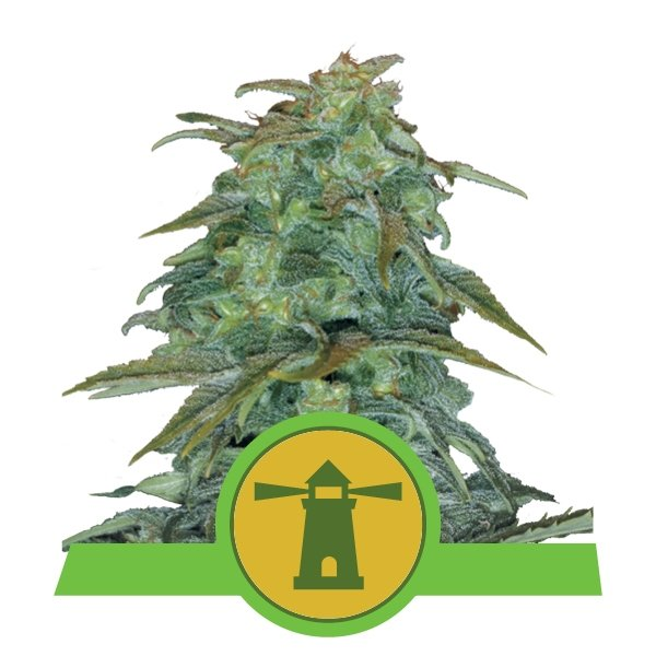 Royal Haze Automatic Royal Queen Seeds