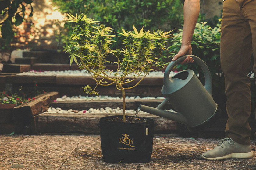 How, Why and When to Flush Marijuana Plants
