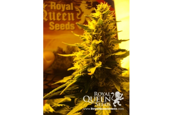Royal Cheese (Florescimento Rápido)